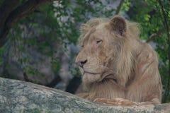 El león parece vacante fotos de archivo
