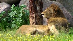 El león se está lamiendo almacen de video
