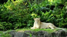 El león se relaja en área herbosa metrajes
