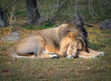 El león soñoliento en el parque zoológico León en fondo natural imagenes de archivo