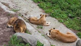 El león y dos leonas Imagen de archivo