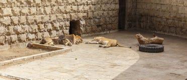 El león y la leona duermen después de un almuerzo caluroso en el parque zoológico Fotografía de archivo