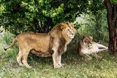 El león y la leona tienen un resto debajo de un árbol Fotos de archivo