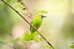El leafbird azul-con alas Foto de archivo