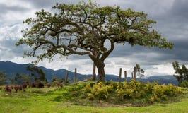 El Lechero, Otavalo神圣的树  库存照片
