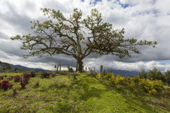El Lechero, the sacred tree of Otavalo. This tree is part of local mythology, believed to house the soul of a cursed lover, who fell in love with a chap from a Stock Image