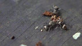 El Lento-MES macro de las hormigas grandes de las porciones lleva el insecto muerto para jerarquizar el formicary de la colonia almacen de video