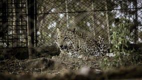 El leopardo fotos de archivo