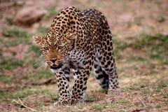El leopardo africano se agachó abajo de conseguir listo para saltar en la O.N.U que sospechaba la presa, parque nacional del sur  Foto de archivo libre de regalías