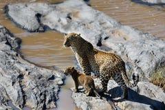 El leopardo Bahati con el cachorro le gusta cruzar el río en Masai Mara, Kenia Imágenes de archivo libres de regalías