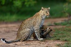El leopardo Bahati con jugar pare en Masai Mara, Kenia Fotos de archivo