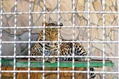El leopardo de reclinación mira la lente de cámara en el parque animal zoo fotos de archivo