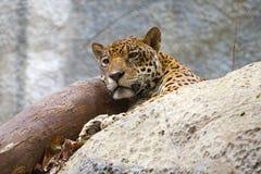 El leopardo despertado mira lejos Chiang Mai imagen de archivo