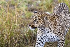 El leopardo encubre la presa Masai Mara, Kenia foto de archivo libre de regalías
