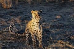 El leopardo está buscando la captura, Namibia imagenes de archivo