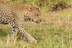 El leopardo está buscando a una víctima Imagen de archivo libre de regalías