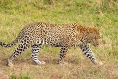 El leopardo está buscando a una víctima Fotos de archivo