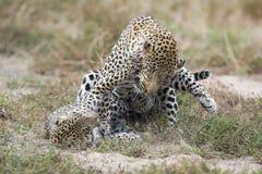 El leopardo femenino da una palmada al varón mientras que se acopla en hierba en naturaleza imágenes de archivo libres de regalías
