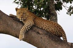 El leopardo mira en la lente de cámara Fotos de archivo