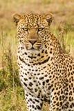 El leopardo mira en la lente de cámara Imagenes de archivo
