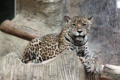 El leopardo miraba algo. Imágenes de archivo libres de regalías