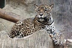 El leopardo miraba algo. Foto de archivo libre de regalías