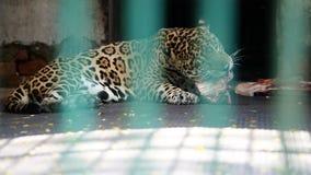 El leopardo salvaje come la carne cruda en su jaula detrás del enrejado verde almacen de video