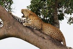El leopardo se despertó Fotografía de archivo