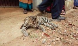 El leopardo Sri Lanka del compañero Fotografía de archivo libre de regalías