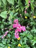 El leptopus de Antigonon o la enredadera o el arbusto de la abeja o la vid de Corol o la vid de San Miguelito o la cadena mexican Fotos de archivo libres de regalías