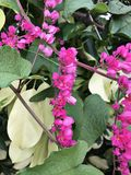 El leptopus de Antigonon o la enredadera o el arbusto de la abeja o la vid de Corol o la vid de San Miguelito o la cadena mexican Imagenes de archivo