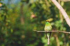 el leschenaulti Bahía-dirigido del Merops del Abeja-comedor es una especie de pájaro Foto de archivo libre de regalías