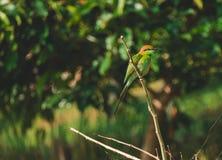 el leschenaulti Bahía-dirigido del Merops del Abeja-comedor es una especie de pájaro Foto de archivo