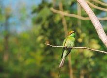 el leschenaulti Bahía-dirigido del Merops del Abeja-comedor es una especie de pájaro Imagen de archivo libre de regalías