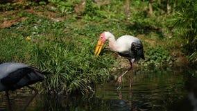 El leucocephala latino del mycteria del nombre del pájaro de la cigüeña se está colocando en el río Pájaro grande de la cigüeña c almacen de metraje de vídeo