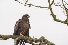 El leucocephalus calvo de Eagle Haliaeetus del joven se encaramó en un árbol imagen de archivo