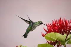 El levitating del pájaro del tarareo Imágenes de archivo libres de regalías