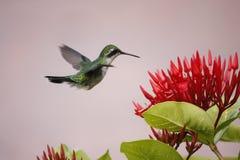 El levitating del pájaro del tarareo Fotos de archivo libres de regalías