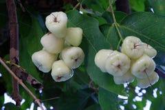 El lichi da fruto en un árbol en Ukulhas, Maldivas foto de archivo libre de regalías