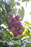 El lichi da fruto, localmente llamado Lichu en el ranisonkoil, thakurgoan, Bangladesh fotos de archivo libres de regalías
