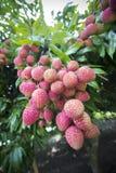 El lichi da fruto, localmente llamado Lichu en el ranisonkoil, thakurgoan, Bangladesh foto de archivo libre de regalías