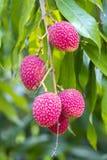 El lichi da fruto, localmente llamado Lichu en el ranisonkoil, thakurgoan, Bangladesh imagen de archivo