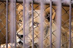 El liger en la jaula de acero tailandia Fotos de archivo