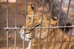 El liger en la jaula de acero tailandia Imagen de archivo