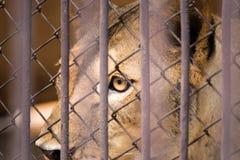 El liger en la jaula de acero tailandia Foto de archivo libre de regalías