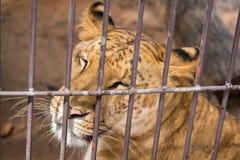 El liger en la jaula de acero tailandia Fotos de archivo libres de regalías