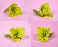 El limón florece, las flores del gladiolo, color raro en un fondo rosado Imágenes de archivo libres de regalías
