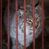 El lince adulto se sienta en una jaula en el parque zoológico El lince es uno de la especie más rara de mamíferos en el mundo Imagen de archivo