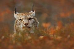 El lince ocultado en la naranja se va en el lince eurasiático del bosque del otoño, retrato del gato salvaje ocultado en la rama  Imagen de archivo
