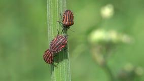 El lineatum rayado italiano de Graphosoma de los insectos está en el tallo verde de la planta almacen de video
